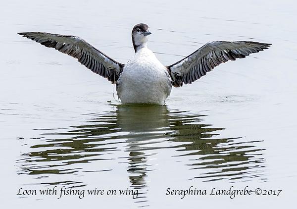 _DSC0310Loon fishng wire in Wing b.jpg