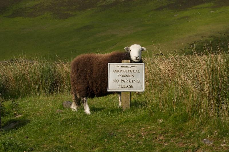 Chocolate sheeps live here...