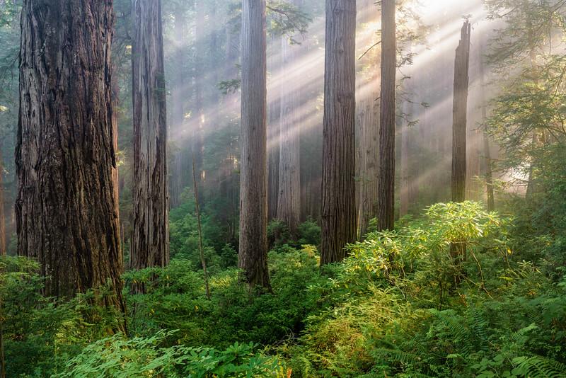 Redwoods Lightrays-2-Edit.jpg