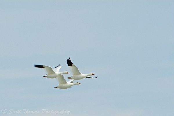 A trio of Snow Geese flying over Cayuga Lake near Seneca Falls, New York.