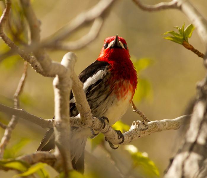 Red-breasted Sapsucker Convick Lake 2014 04 23-4.CR2