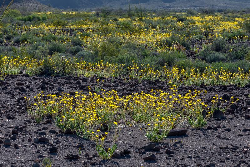 Desert Sunflowers #3