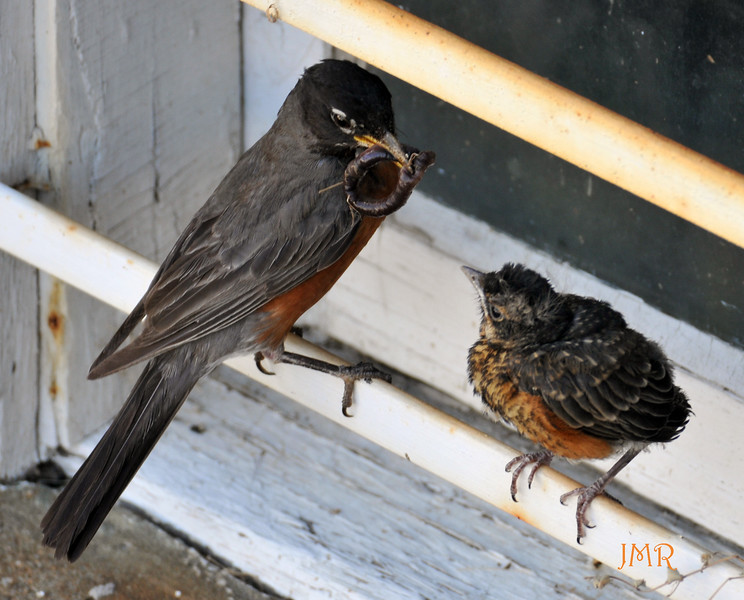 ROBIN BIRD FED WORM .jpg