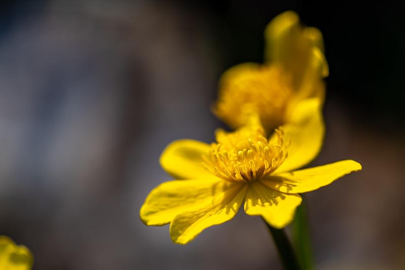 Marsh Marigold-4.jpg