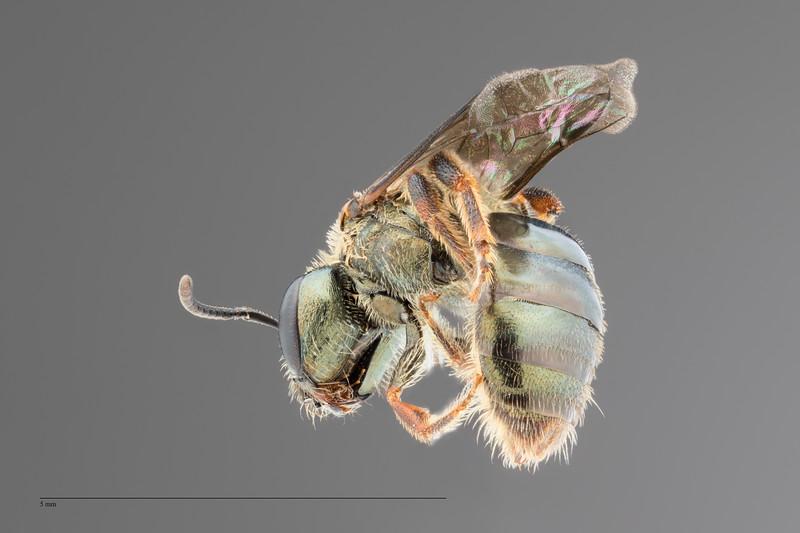 Homalictus fijiensis Female