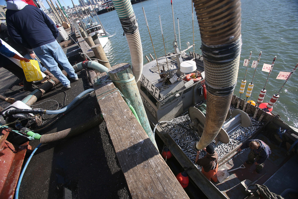 . Fisherman Dennis Deaver, of Alamo, right, unloads his 18-ton haul of herring at the San Francisco Community Fishing Association dock on Pier 45 in San Francisco, Calif., on Friday, Feb. 8, 2013.  (Jane Tyska/Staff)