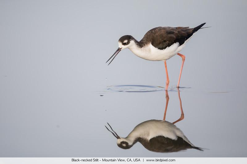Black-necked Stilt - Mountain View, CA, USA