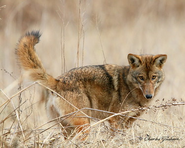 Coyote at Research Park - North Alabama