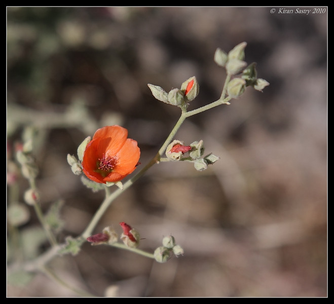 Orange Globemallow, Palm Canyon Trail, Anza Borrego Desert State Park, San Diego County, California, April 2010