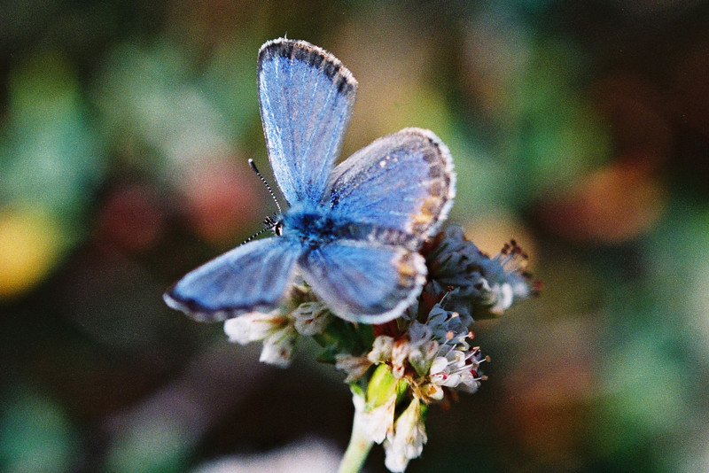 Endangered Blue Butterfly on buckwheat flower in  El Segundo on a nature preserve near LAX