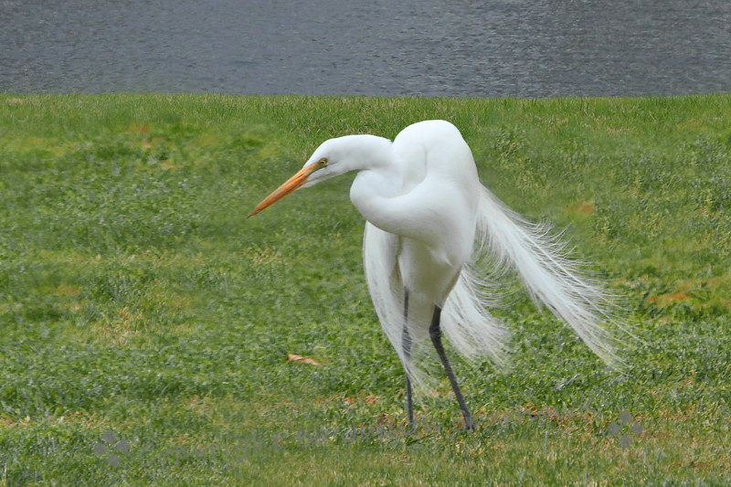 Doin' the Twist ~ This Great Egret was busy watching for, and capturing food (mostly earthworms after the rain), and I thought it almost looked like dance moves.