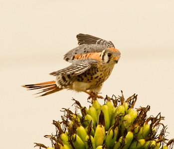 American Kestrel Falco sparverius