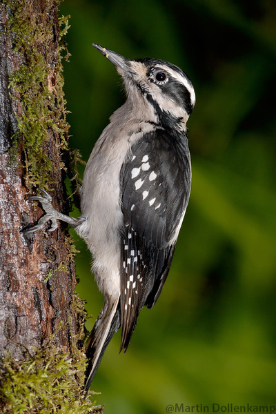 Hairy Woodpecker female's don't have the red at the back of the head.