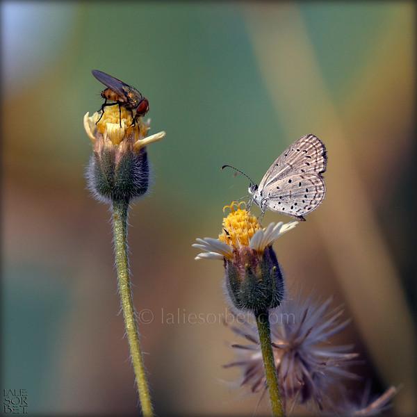 Spring Azur butterfly.jpg