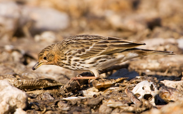 Red-throated Pipit  4 Northern cost Israel_12.06_Bartov.jpg