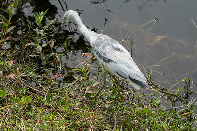 03_Everglades - Heron - Little Blue