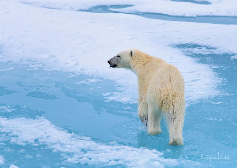hot polar bear and arctic melt.jpg