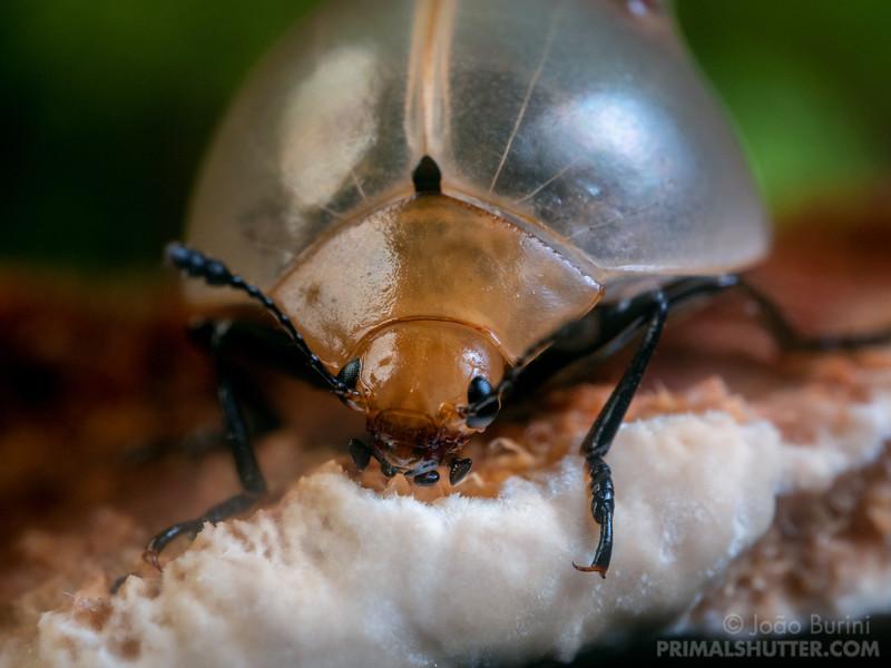 Fungus beetle feeding on a woodear fungus