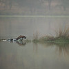 Tiger in a lake in Ranthambhore
