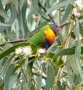 Birds - Parrots and Cockatoos