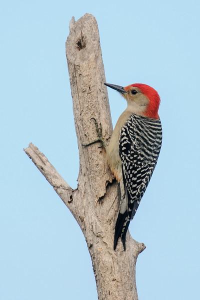Woodpecker - Red-bellied - male - Bowman's Beach - Sanibel Island, FL
