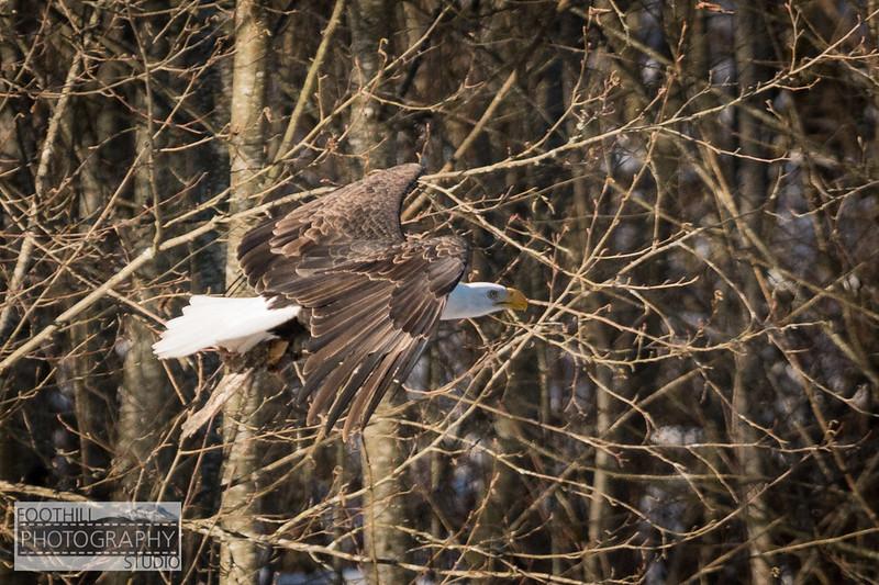 Eagle Sml-10.jpg