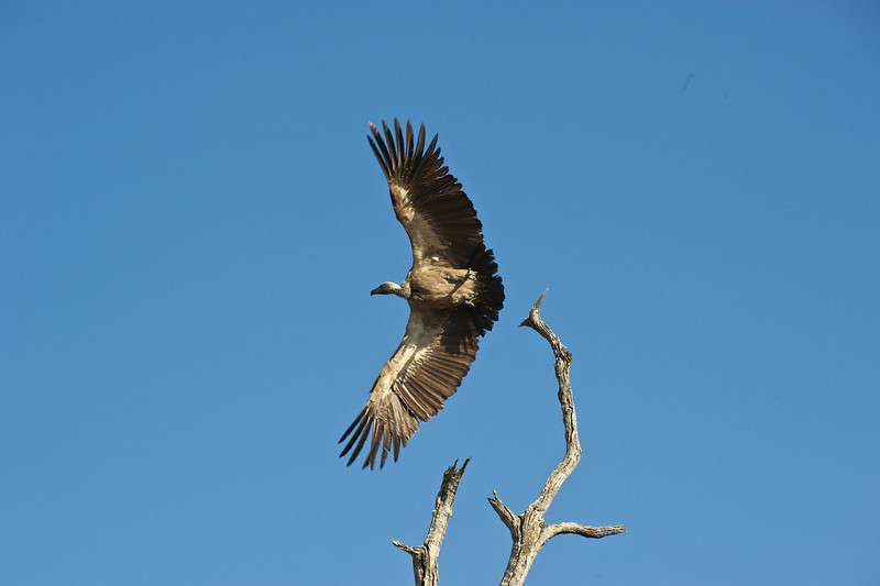 White backed vulture, Kwondo Lagoon, Botswana