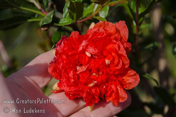Flowering Pomegranates (Punica granatum)