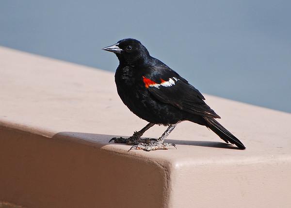 Blackbird, Tri-colored