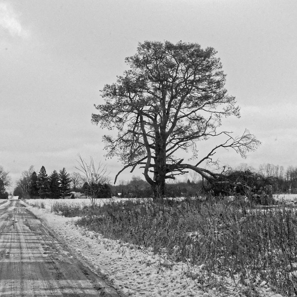 Tree, Saginaw Highway