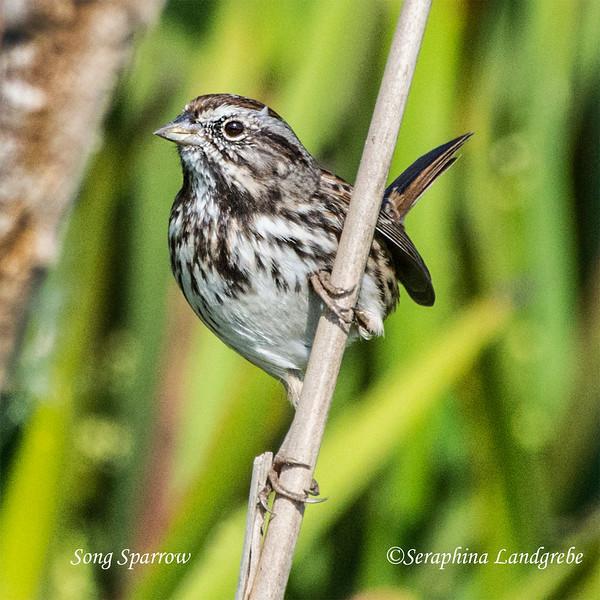 _DSC2316Song Sparrows.jpg