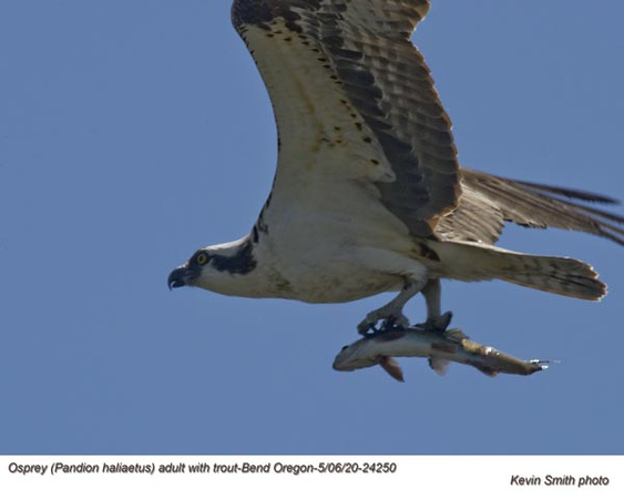 Osprey w-Trout A24250.jpg