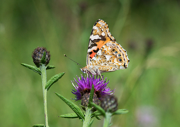 Painted Lady butterfly.jpg