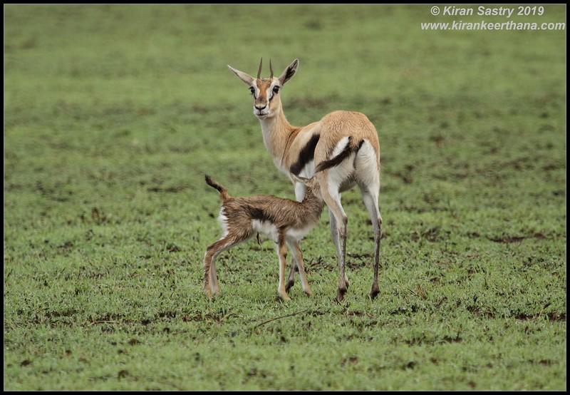 Thomson's Gazelle with newborn, Ngorongoro Crater, Ngorongoro Conservation Area, Tanzania, November 2019