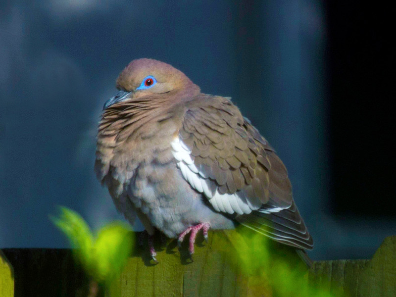 Another dove in mating season