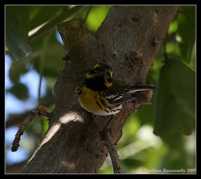 Townsend's Warbler, San Diego Home, San Diego County, California, March 2009