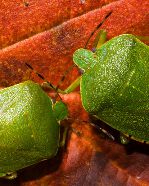 Stink Bug Pair D0124