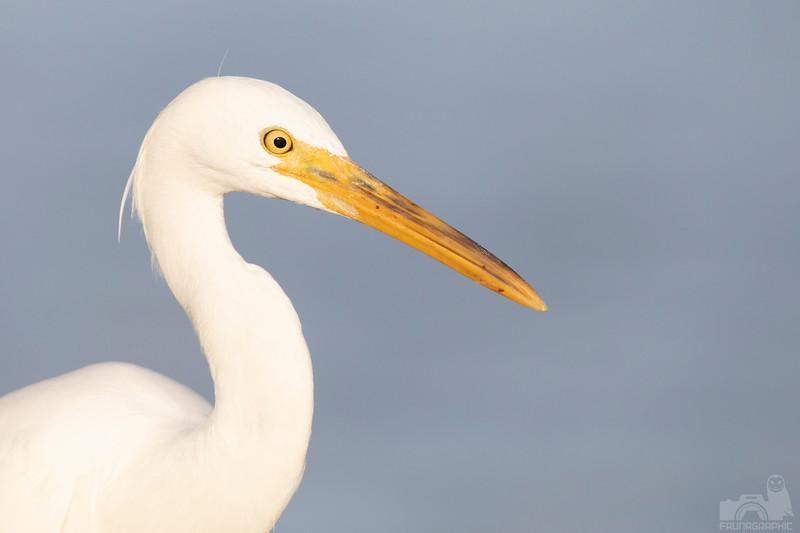 Eastern Reef Egret (White Morph)