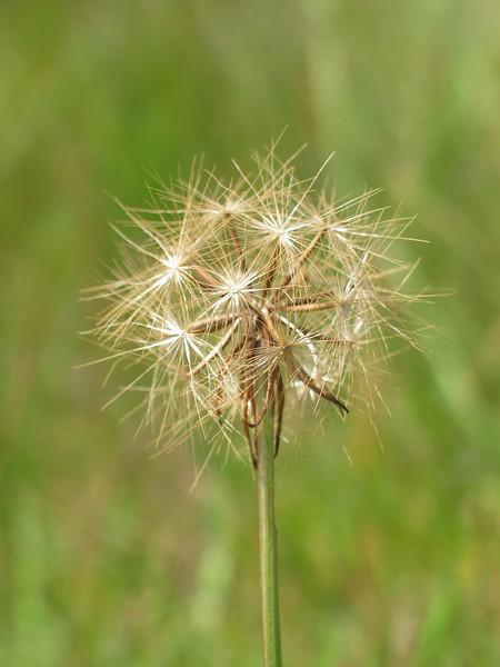 Microseris lanceolata / Yam Daisy / Native Dandelion