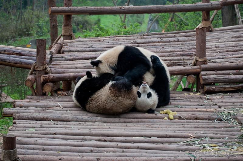 Cup_Panda_hangingout_Chengdu_Sichuan_China2.jpg