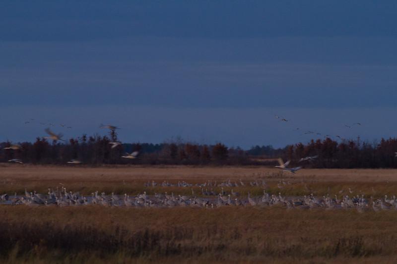 Sandhill Crane flock roosting at dusk Crex Meadows Grantsburg WI IMG_2264.jpg