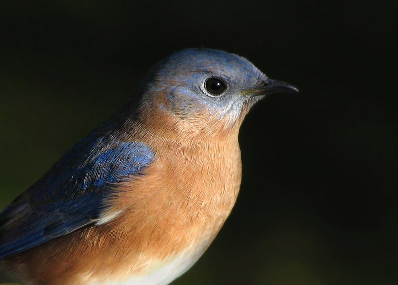 bluebird_3767.jpg