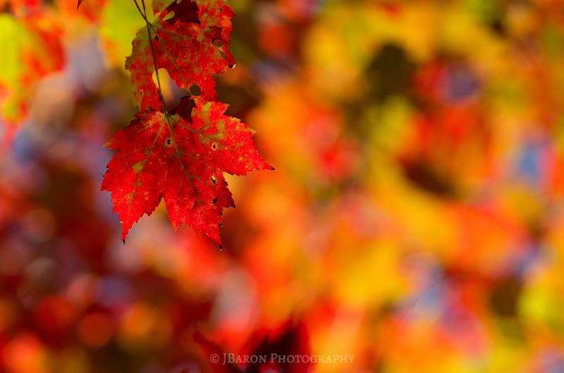 Bright Fall Foliage III