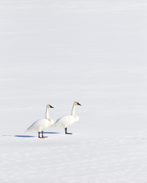 Tundra Swans on the snow-covered ice of the Okanogan River