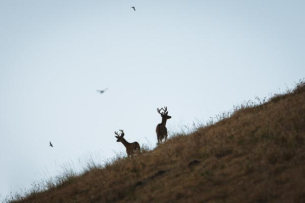 Summer Whitetail Deer