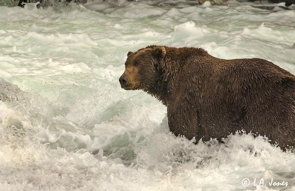 Grizzly Bears (Ursus arctos ssp.)