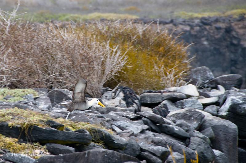 Albatross takes a running start toward the cliff  at Punta Suarez, Espanola Island