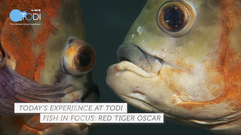 TODI TODAY: Fish in Focus - Red Tiger Oscar