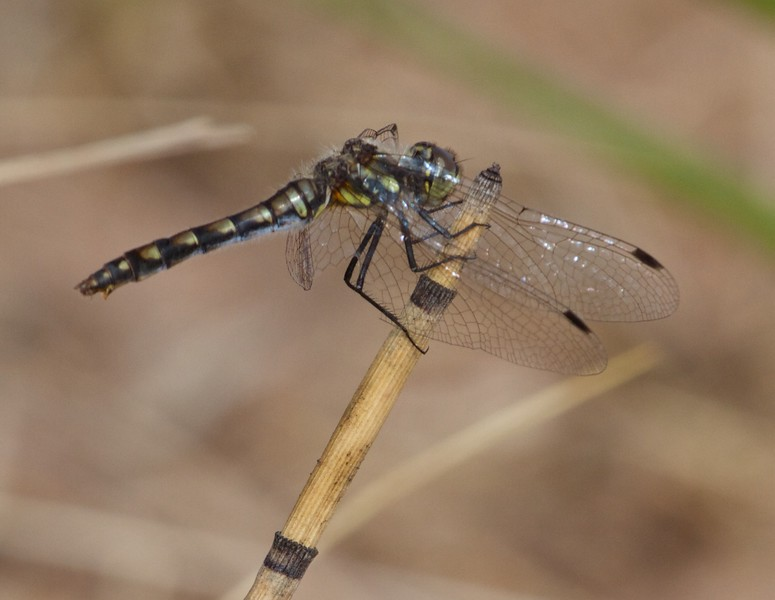 meadowhawk Black Meadowhawk Sympetrum danae female Wisconsin Point Superior WI IMG_8428.jpg