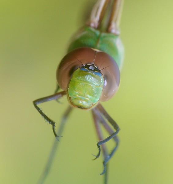 darner Common Green Darner Anax junius juvenile Wisconsin Point Superior WI IMG_8395.jpg